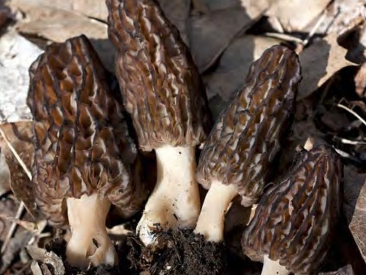 Mushroom Of The Month | Morchella